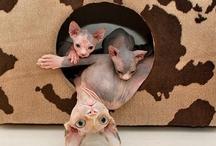 Animals - Cats/Sphynx / by Jan Vafa