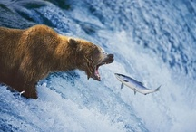 Animals - Bears / by Jan Vafa