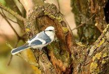 Our favotite species - Azure tit