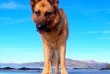German shepherd / I love german shepherds!! / by Nachobillyanna