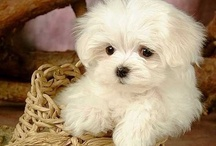 My Maltese Dogs and My Poodle / by Alby Furlong