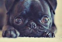 Pugsy looove