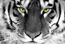 TIGERS / The Most Beatiful Animal on Earth