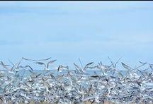 Birds on a Beach / Arctic Terns on Sedgefield Beach.