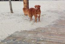 Caya the Toller / Nova Scotia Duck Tolling Retriever