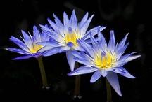 Waterlilys Waterlelies Lotus / by mieke lobker