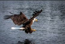 The Eagles at Sabourin / Vast numbers of this majestic bird can be viewed everyday