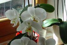 Orchidee come coltivarle / Sone le uniche che coltivo oltre le piante grasse