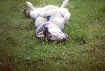 Dogs / I heart alaskan malamutes, few sneaky ones of my pooch