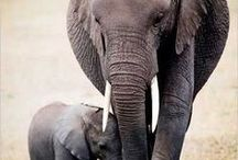 Elephants / Elephant is the remover of obstacles and my Animal Totem. She came to me in a dream to show me I have the ability to remove any obstacles from my life's spiritual path that are a hindrance to me. She is beautiful. I love her.