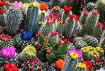Cacti and succulents (kaktuszok és pozsgások)