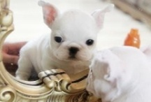 French Kissing / These funny little dogs will fall asleep anywhere and have a lust for life! / by Michelle Tingley
