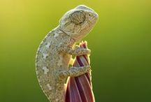 Chameleons / Eles são esquisitos, mas são tão engraçados... //They are weird, but they are so funny...