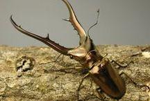 GORGEOUS BEETLES COLEOPTERA / Big bright beetles