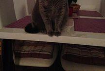 British short blue - Chanel / My cat love Chanel