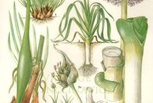 Botanical Herbal Images / Some of the rarest and hard to find as well as the familiar and commonplace herbs - one of the largest collections from one of Europe's most trusted herbal suppliers