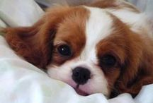 cavalier king charles / animaux