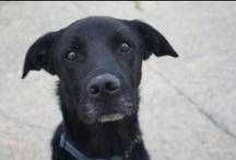 """Nos """"grands"""" chiens à l'adoption / Association Galia """"Vendée"""""""