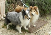 My shelties