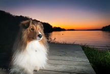 Shelties / Many shelties!!!