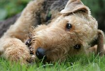 Special Airedale terriers