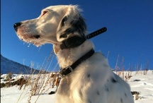 Hunting Dogs / Man's best friend in the field, the bog, or the blind