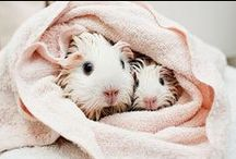 Trendy guinea pigs / Guinea pig cuteness. Get your daily portion of aww.