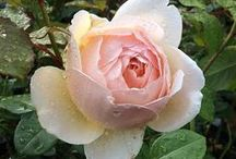 English Roses / English Roses bring great pleasure to a garden. They are renowned for their delicate charm, distinctive fragrance and semi-translucency that allows light to shine through their petals. English Roses are versatile plants, ranging in height from short varieties to shrubs of 4-5ft.   Whether your garden evokes traditional cottage charm or has a more contemporary feel, a rose garden can provide the perfect intimate and sensory space to sit, relax and spend time.