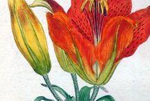William Curtis Botanical Flowers Plants Prints Botany Gardening / Flowers. Plants, Botany, Botanical, Art, Illustrations, William Curtis, Engravings, Antique Art, Art, Fine Art, Fiori, Botanica, Piante, Illustrazione