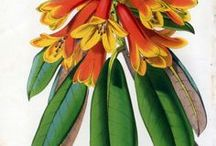 Louis Van Houtte Botanical Flowers Plants Prints Botany Gardening