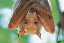 Natural Law of Chiroptera  / Even if you did have bats in your belfry...you'd be blessed with bats. / by Victoria Salisbury