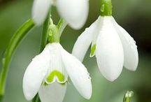 Spring- & Bulbous Flowers