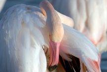 by me... Flamingoes / birds, flamingoes, oiseaux, flamants roses