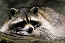 Sweet Raccoons / I'm in love with raccoons!