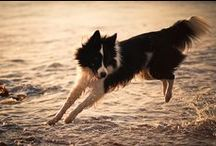 Border Collies / A house is not a home without a Border Collie