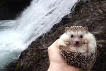 | Hedgehog / Hedgehog