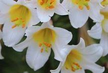 Flores de corte / Flor de corte se denomina a las flores o capullos florales (a menudo con algo de tallo y hojas) que se utilizan, en solitario o en ramos, para la decoración de interiores. Se pueden utilizar en recipientes decorativos como jarrones, arreglos florales como coronas, guirnaldas, ikebanas. Las especies de plantas cosechadas varían, en relación al clima, la cultura y el nivel económico local. A menudo se cultivan, tanto al aire libre como en invernadero para fines específicos.