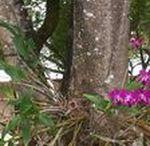 Orquídeas / Son el grupo de plantas que a podido colonizar con más éxito las copas de los árboles, están asociadas de manera directa a vivir en la parte más alta del bosque o a su capacidad de establecerse en otros ambientes en donde la disponibilidad de nutrientes es muy baja. Se han podido establecer en casi todos los ambientes de la tierra gracias a sus adaptaciones para soportar muy distintas condiciones. La coloración y la belleza de las orquídeas siempre las han hecho altamente apreciadas
