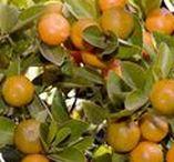 Frutales / Un árbol frutal es cualquier árbol productor de frutas. Sus estructuras son formadas por el óvulo maduro de una flor que contiene una o más semillas. Todas las plantas con flores producen frutos. Los árboles frutales son unos agradecidos habitantes de los jardines. Su colorido y su aroma harán de nuestro pequeño vergel un lugar mucho más agradable.