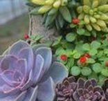 Cactus y Suculentas / Las plantas cactáceas y muchas de las plantas denominadas suculentas, proceden del continente americano, donde viven en climas y condiciones de lo más variado, mientras que el resto de las plantas suculentas que suelen verse en los jardines o colecciones proceden, en su mayor parte, del continente africano. La mayoría de plantas suculentas, y en especial los cactus, pueden soportar temperaturas bastante altas. Una iluminación intensa es conveniente para este tipo de plantas.