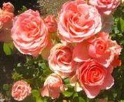 Rosales / Los rosales son una especie de arbusto espinoso de la familia de las rosáceas. Hay alrededor de cien especies de rosales silvestres, originarios de zonas templadas del Hemisferio Norte. Los rosales florecen continuamente durante todo el año desde primavera hasta principios de invierno, sobre todo en climas cálidos. La mayoría de las especies se cultivan para utilizarlas en decoración, aunque también para la elaboración de aceites esenciales, usos gastronómicos y medicinales.
