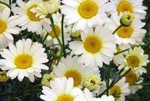 Flores blancas / Parte de las plantas fanerógamas donde se encuentran los órganos reproductores que están dispuestos en cuatro verticilos (cáliz, corola, androceo y gineceo) pueden ser de muchas formas y colores, unisexuales o hermafroditas, solitarias o agrupadas en inflorescencias. El color blanco  se debe al fenómeno de reflexión total de la luz. Los pétalos presentan espacios de aire en posición subepidérmica o una capa de células con abundantes granos de almidón, y en ambos casos la luz se refleja