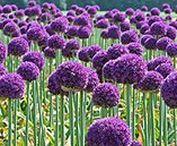 Flores Lilas y Moradas / Parte de las plantas fanerógamas donde se encuentran los órganos reproductores que suelen estar dispuestos en cuatro verticilos (cáliz, corola, androceo y gineceo); pueden ser de muchas formas y colores distintos, unisexuales o hermafroditas, solitarias o agrupadas en inflorescencias. Los colores son conferidos por determinados compuestos químicos. La, antocianina, es responsable de producir rojo, rosa, azul y púrpura en los pétalos de flores.