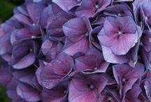Petit Moment ♥ Hydrangea  ~  Hortensia / Petit Moment ♥ Beautiful Hydrangea  ~  Hortensia www.petitmoment.nl