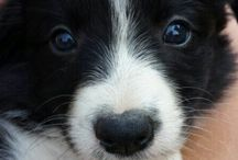 Biù / Border Collie