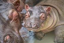 Rosie the Hippo