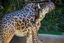 Baby Giraffe Leo / Adventures of a baby giraffe.  / by Los Angeles Zoo