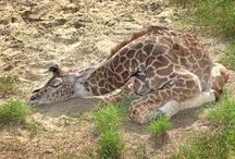 Sleeping Beauty / Snooze time with current and past animal residents of the #LAZoo.