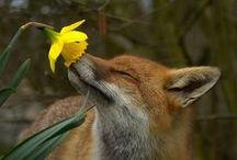 foxes, photos