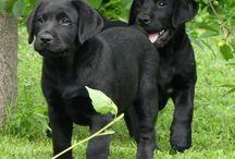 Zelta / Labrador Retriever